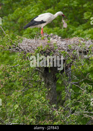 White Stork with two juveniles on nest. Parents tries eating its own dead chick. Europe - Stock Photo