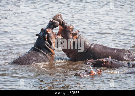 Two Hippopotamus bulls are fighting over a harem - Stock Photo