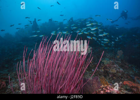 Seascape of red whip corals in foregroud with a school of yellowtail fusiliers crossing the coral reef and diver - Stock Photo