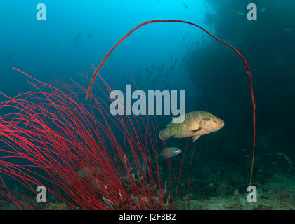 Young Napolean Wrasse framed by red whip corals. Raja Ampat, Indonesia. - Stock Photo