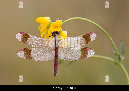 Banded Darter at Birdsfoot Trefoil - Stock Photo