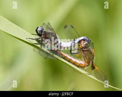 Mating Scarce Chaser on leaf Yellow flag - Stock Photo