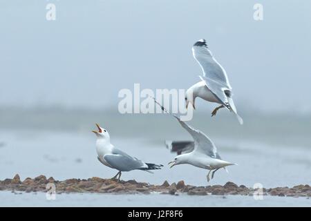 Displaying Common Gulls (Larus canus) - Stock Photo