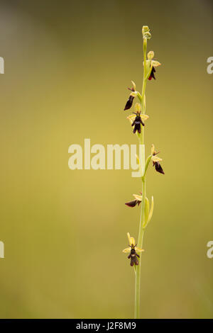Flowering fly orchid - Stock Photo