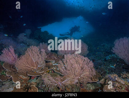 Colorful sea fans in the foreground frame the silhouette of a scuba diver in the window of an undersea wall. Raja - Stock Photo