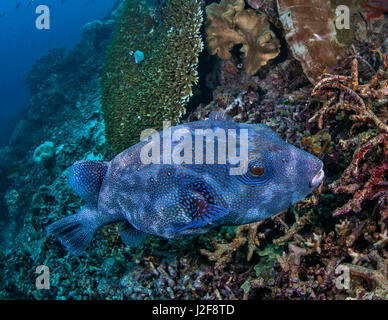 Starry pufferfish with blue coloration foraging on coral reef. Raja Ampat, Indonesia. - Stock Photo
