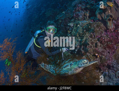 Female scuba diver gets a close up look at hawksbill turtle on resting in black coral tree on wall reef wall. Bunaken - Stock Photo