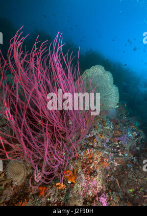Close-focus wide-angle image of a red sea whip adjacent to green seafan backlit by blue ocean light. Raja Ampat, - Stock Photo