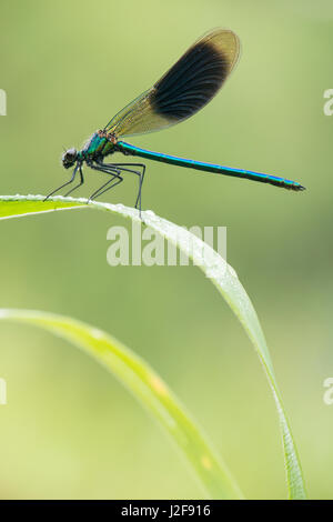 Banded demoiselle covered in dew - Stock Photo