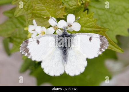 Female Orange Tip (Anthocharis cardamines) - Stock Photo