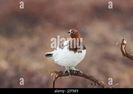 Male Willow Ptarmigan in tundra - Stock Photo