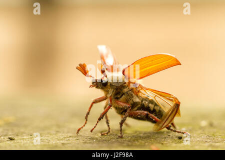 Starting cockchafer showing shields and wings - Stock Photo