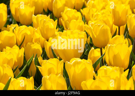 field of tulips in the Northeast polder part of Flevoland - Stock Photo