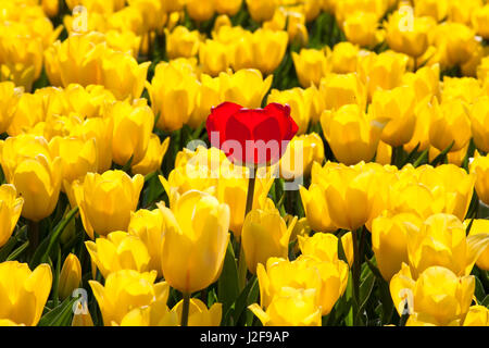 field of tulips in the Northeast polder part of Flevoland as a field crop for cultivation with a bulb of a different - Stock Photo