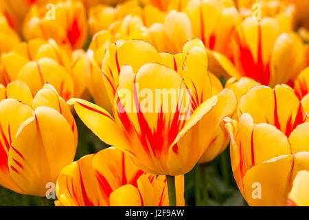 field of tulips in the Northeast polder part of Flevoland as a field crop for cultivation - Stock Photo