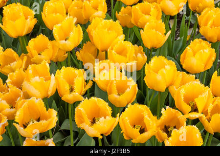 field of tulips in the Northeast polder part of Flevoland as a field crop for propagation - Stock Photo