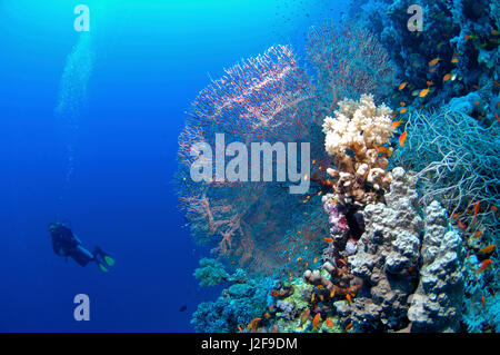 Fan coral with diver in the Red sea. - Stock Photo