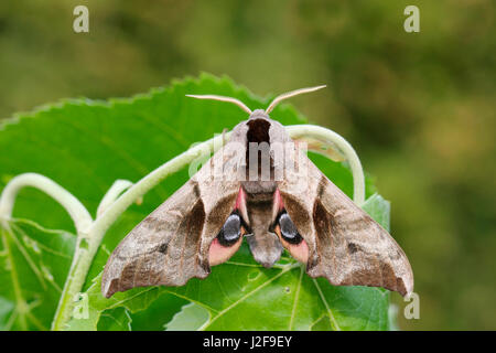 Eyed Hawk-Moth; Smerinthus ocellata - Stock Photo