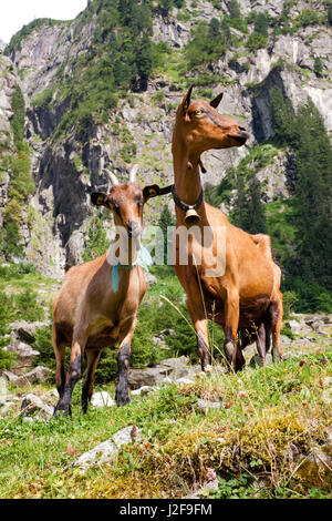 Goats for pasture maintenance in the Zillertal Alps in Austria - Stock Photo
