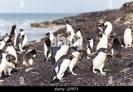 Rockhopper penguin (Eudyptes chrysocome) penguins on beach relaxing before climbing up a steep cliff to their rookery. - Stock Photo
