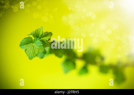 A branch of black currant with young leaves on a green background - Stock Photo
