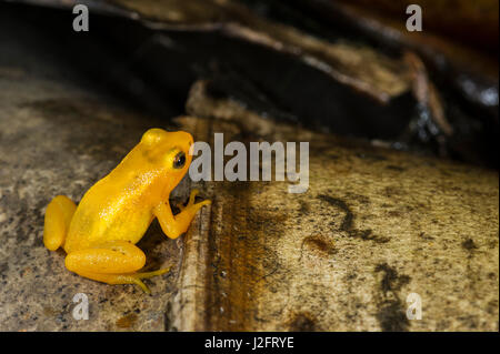 Golden Rocket Frog (Anomaloglossus beebei) or Beebe's rocket frog. Live in giant tank bromeliads. Kaieteur Falls, - Stock Photo