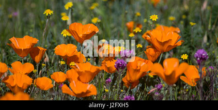 USA, California. California Poppies (Eschscholzia californica), Owl's Clover (Castilleja exserta) and Goldfields - Stock Photo