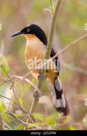 Brazil, Mato Grosso, The Pantanal, black-capped Donacobius, (Donacobius atricapilla). Black-capped Donacobius in - Stock Photo