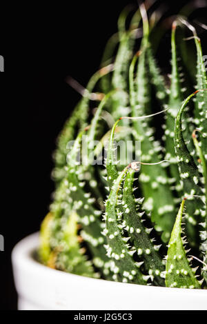 Close up abstract of spiky leaves of a green succulent indoor plant - Stock Photo