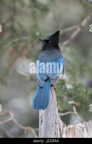 Steller's jay / Diademhaeher ( Cyanocitta stelleri ) in winter, backside view, perched on an old rotten tree stump, - Stock Photo