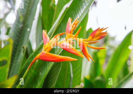 heliconia tropical flower in the asian park - Stock Photo