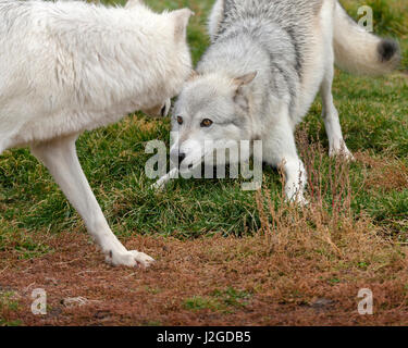 Gray Wolves showing dominance, Canis lupus, Controlled, West Yellowstone, Montana - Stock Photo