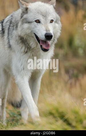 Gray Wolf running in a fall drizzle, Canis lupus, West Yellowstone, Montana - Stock Photo