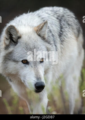 Gray Wolf, Canis lupus, West Yellowstone, Montana - Stock Photo