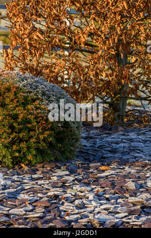 Winter close-up of frost on slate chippings & planting on herbaceous border (clipped yew ball & hornbeam) - private - Stock Photo