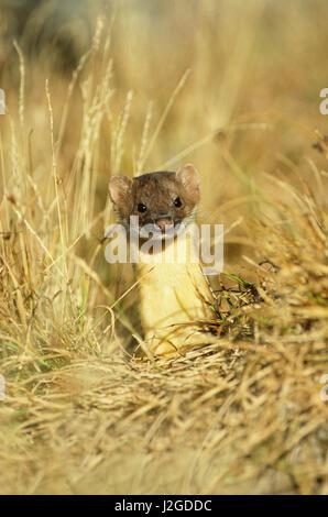 Long-tailed Weasel (Mustela Frenata) Glacier National Park, Montana - Stock Photo