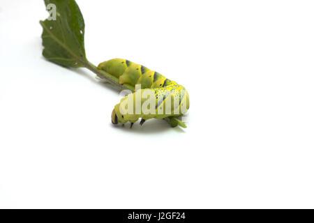 Acherontia atropos - Stock Photo