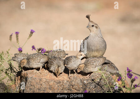 USA, Arizona, Amado. Female Gambel's quail with chicks. Credit as: Wendy Kaveney / Jaynes Gallery / DanitaDelimont.com - Stock Photo