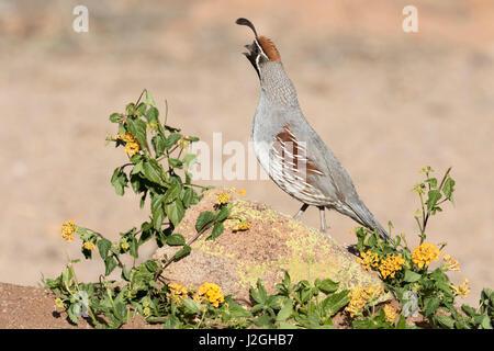 USA, Arizona, Amado. Male Gambel's quail on rock. Credit as: Wendy Kaveney / Jaynes Gallery / DanitaDelimont.com - Stock Photo