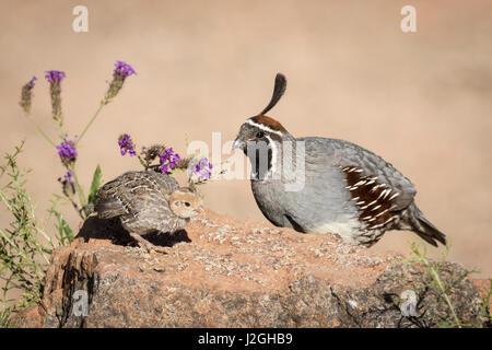USA, Arizona, Amado. Male Gambel's quail with chick. Credit as: Wendy Kaveney / Jaynes Gallery / DanitaDelimont.com - Stock Photo