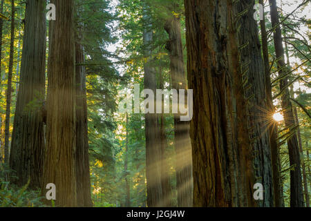 Giant redwood forest in Jedediah Smith State Park and Redwoods National Park, California, USA - Stock Photo