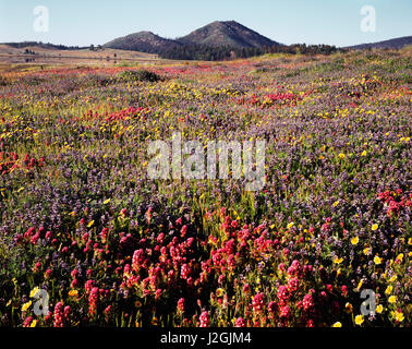 USA, California, Cleveland National Forest, A field of Owl's Clover (Castilleja exserta) and Lupine (Lupinus) wildflowers - Stock Photo