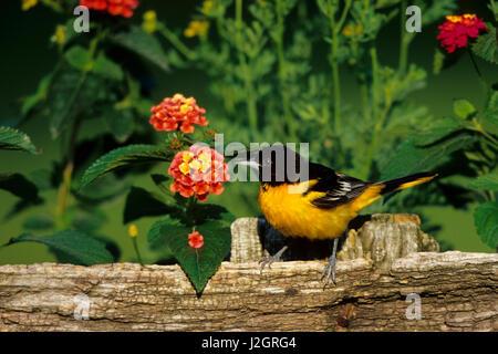 Baltimore Oriole (Icterus galbula) male on wooden fence near flower garden Marion County, Illinois - Stock Photo