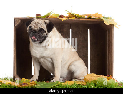 Pug Dog isolated on white background with autumn leaves - Stock Photo