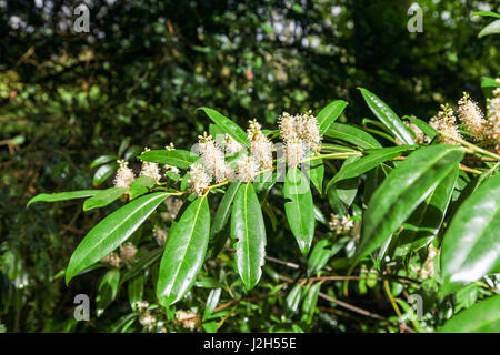 The white Flowers and shiny evergreen leaves of a True Laurel (Laurus nobilis) or English Laurel or Bay is an aromatic - Stock Photo