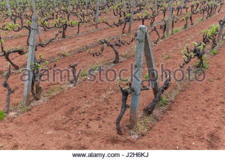 Europe, Balkans, Bosnia and Herzegovina, Medjugorje. Vineyards near the village - Stock Photo