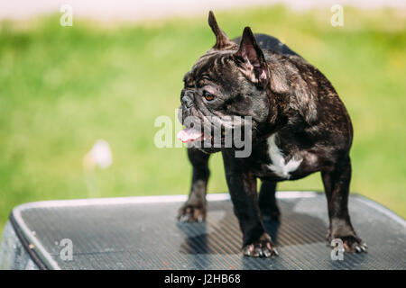 Young Black French Bulldog Dog Standing On Show Table Outdoor. - Stock Photo
