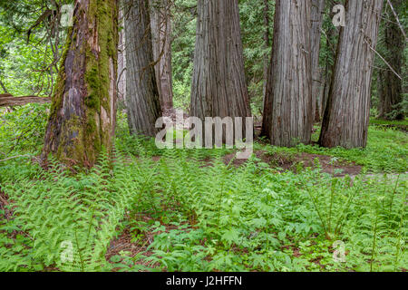 Old Growth Cedars Thuja Plicata In Snootli Regional Park