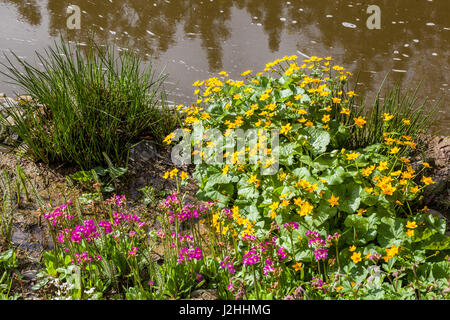 The submerged and damp edge of the stream with yellow flowers Caltha palustris, known as marsh-marigold and Pink - Stock Photo