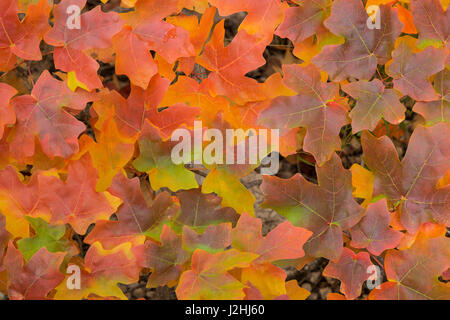 USA, Texas, Guadalupe Mountains National Park. Fallen bigtooth maple leaves in autumn color. Credit as: Don Paulson - Stock Photo